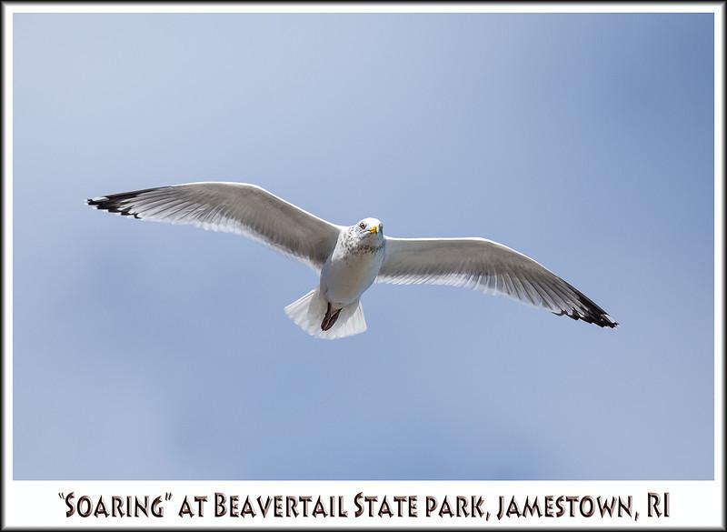 Seagull in flight MF2.jpg