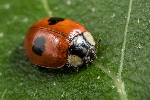 Adalia bipunctata - Two-spotted ladybird