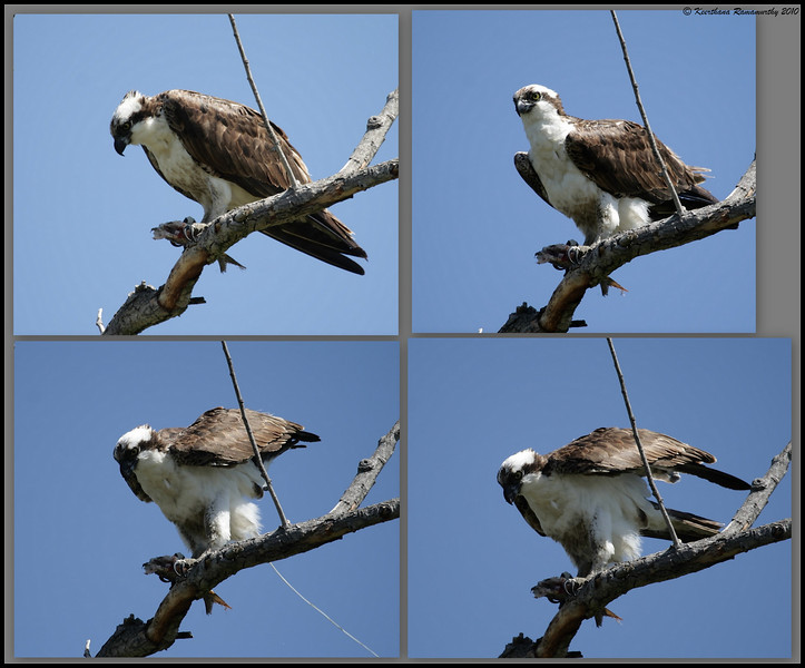 Output - Osprey caught in action, San Joaquin Marsh, Orange County, Los Angeles, California, May 2010