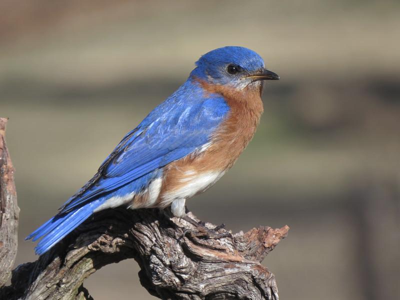 sx50_bluebird_boas_108.jpg