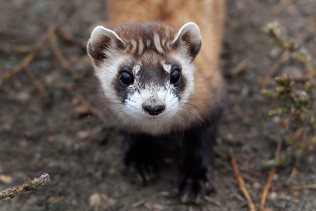. WELLINGTON, CO - Oct. 29: There are 48 outdoor pre-conditioning pens that house some ferrets. Each pen is 40\'x40\' and the animals stay in the pens a minimum of 30 days and must kill at least two prairie dogs on their own in that time frame. The U.S government through the U.S. Fish and Wildlife Service is breeding the black-footed ferret in captivity in northern Colorado. Restoring the ferrets, an endangered species, to the United State prairies is considered a key step in to reviving dying ecosystems. (Photo By Kathryn Scott Osler/The Denver Post)