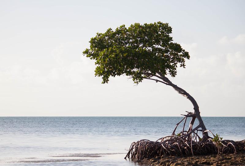 grassy key mangrove-6.jpg