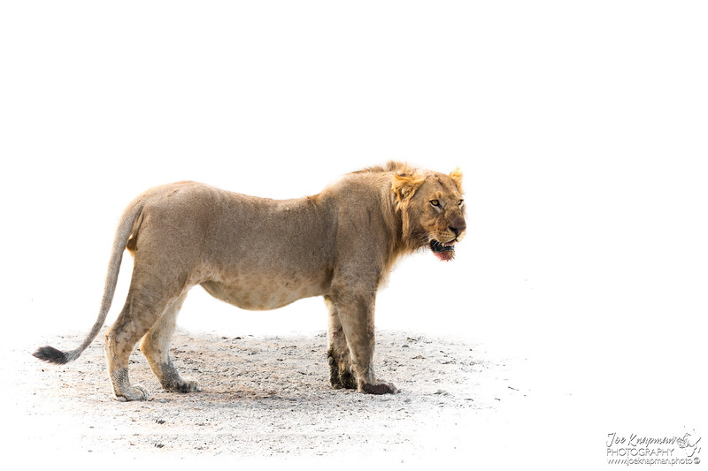 Young Male Lion in the Serengeti