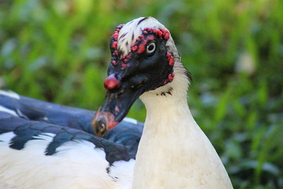 Muscovy Duck -- Pato Real
