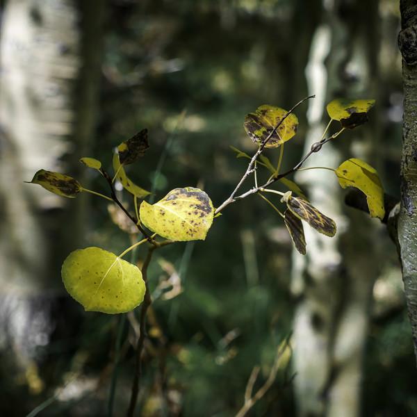 Aspen Leaves (1 of 1).jpg