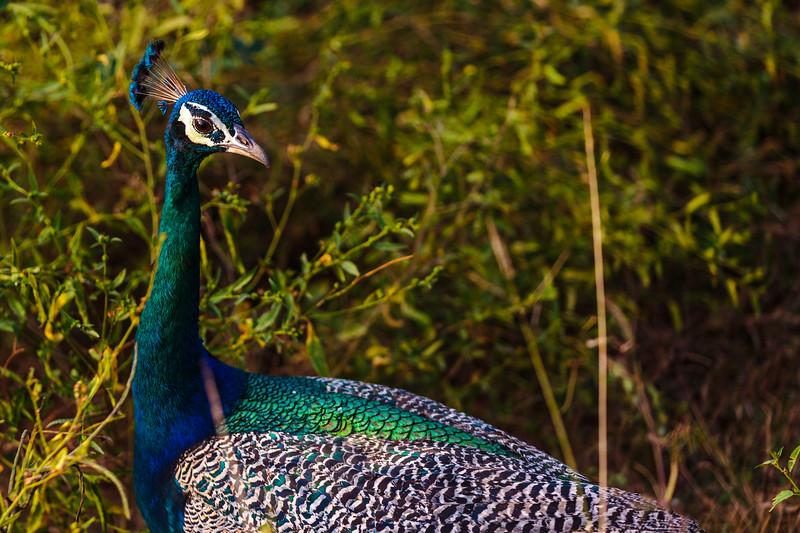 Peacock in Sri Lanka