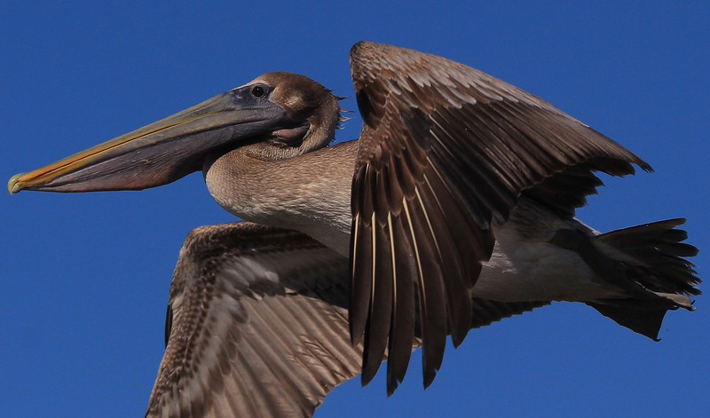 zzzAnahuac 1-24-2015, 091A, SMALL, Brown Pelican fly-by.jpg