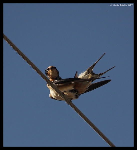 Barn Swallow, Salton Sea, Imperial County, California, November 2009