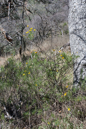 Ericameria linearifolia site on Middle Ridge C0388