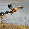 A pair of Ruddy Shelduck (Tadorna ferruginea), also called Brahminy Duck, taking off from a lake in Ranthambore national park