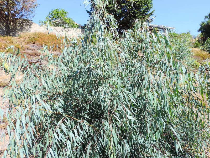 Eucalyptus (Eucalyptus sp.) MYRTACEAE