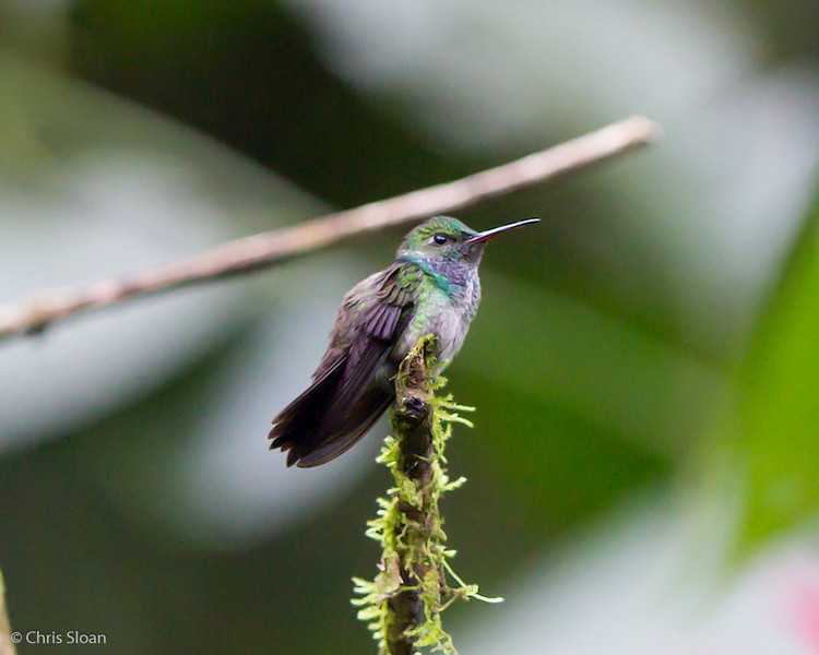 Purple-chested Hummingbird female at Rio Silanche Reserve, Ecuador (03-04-2014) 027-4-Edit.jpg