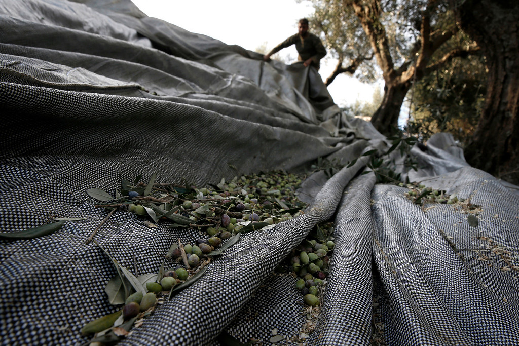 . Dimitris Apostolopoulos collects olives at an olive grove in Velanidi village, 320 kilometers (200 miles) west of Athens, Greece on Thursday, Nov. 28, 2013. The economic crisis has seen a return of Greeks to farm work in recent years, after abandoning fields for years and using migrant labor. He received half of the olive oil produced from his collection as payment. (AP Photo/Petros Giannakouris)