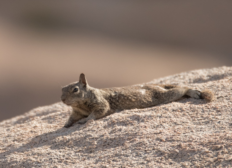 Young California Ground Squirrel basking in the early morning sun.
