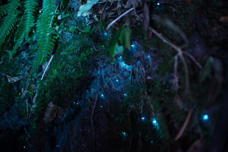 Glowworm Fern-1.jpg