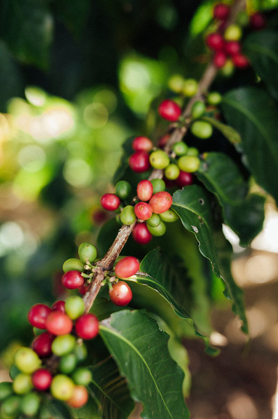 HAWAII ISLAND COFFEE