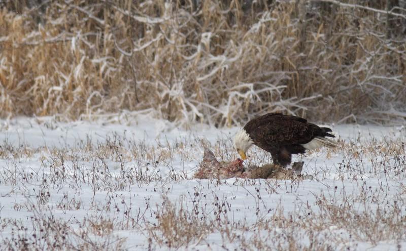 Bald Eagle feeding on carcass CR229-29 Racek's Sax-Zim Bog MN IMG_8270.jpg
