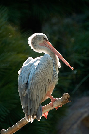 Perching Pelican.jpg