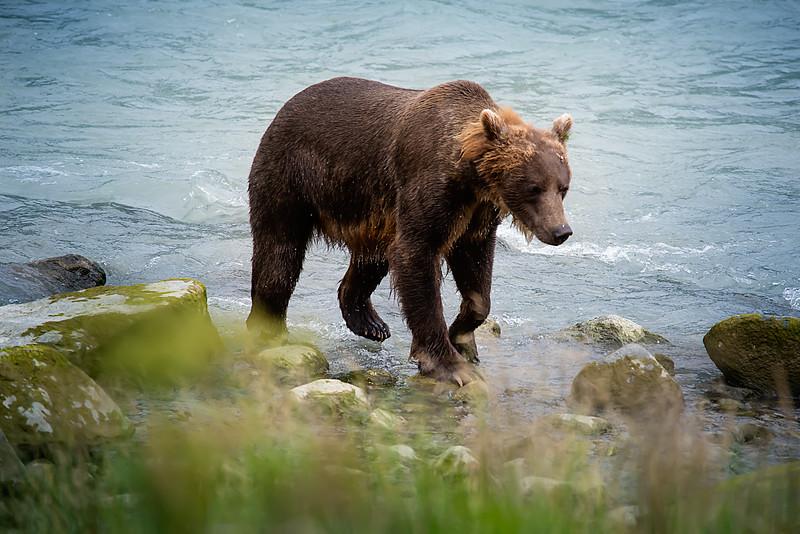 Alaskan Grizzly.jpg
