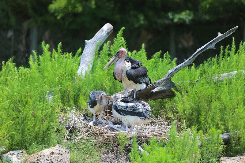 Marabou Stork & Young