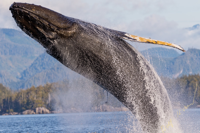 Humpback whale (Megaptera novaengliae) breaching in front of the British Columbia Coastal Mountains in Queen Charlotte Strait off Vancouver Island, British Columbia, Canada.