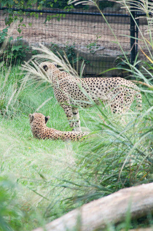 National Zoo 9-16-12 - Cheetahs!
