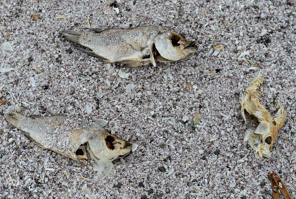 . The Salton Sea, CA., Friday, November 22, 2013. (Photo by Jennifer Cappuccio Maher/Inland Valley Daily Bulletin)