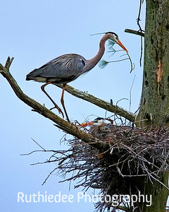 Nest builder and mate...