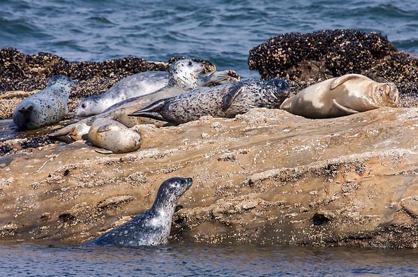 Harbor Seals of Otter Crest