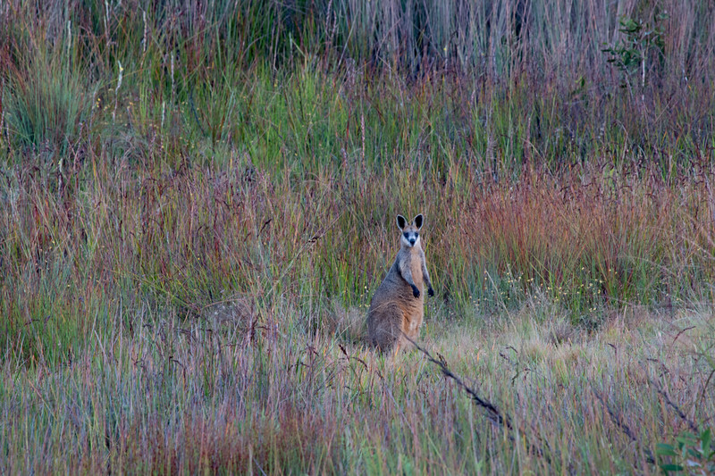 Swamp wallaby in wetland, Sunshine Coast