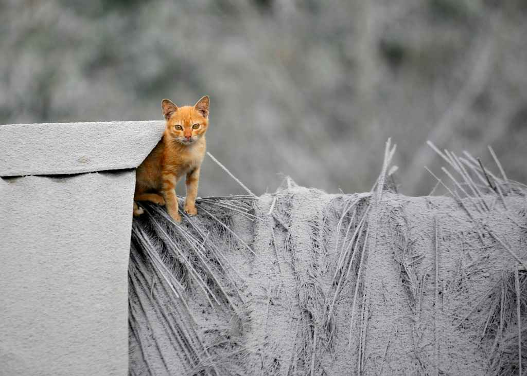 . A kitten sits on the roof of a house that is covered with volcanic ash from the eruption of Mount Sinabung in Mardingding, North Sumatra, Indonesia, Wednesday, Nov. 6, 2013.  (AP Photo/Binsar Bakkara)