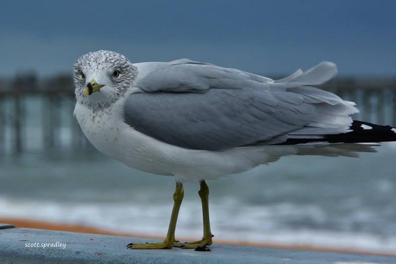 OceanArt Gull.jpg