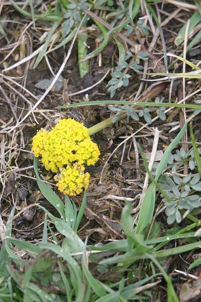 sulpur buckwheat