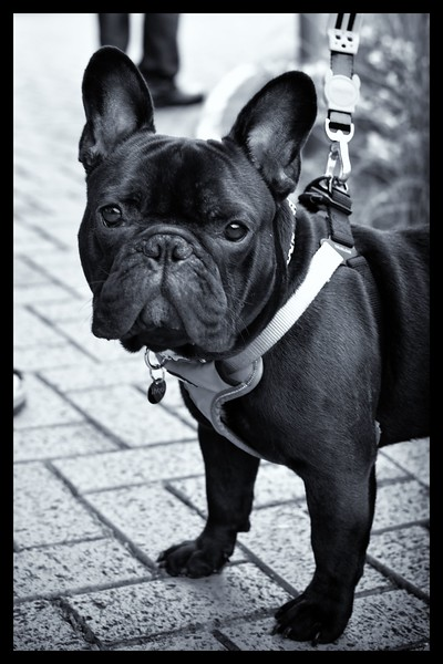 Theo French Bulldogbw111.JPG