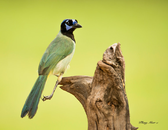 Green Jay Chester_DWL5048.jpg