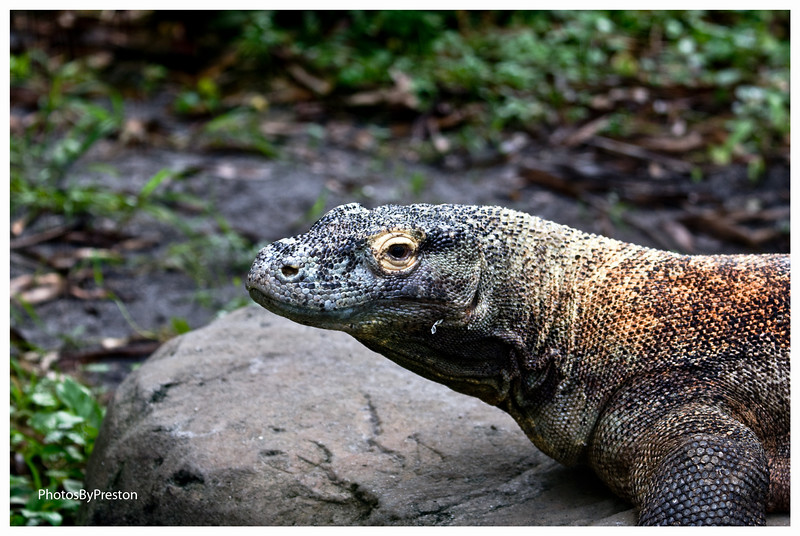 Komodo Dragon  Scientific name: Varanus komodoensis Common name: Ora, Komodo dragon, buaja darat (land crocodile)  PHYSICAL CHARACTERISTICS:  Komodo dragons  are the world's heaviest living lizards. They can grow to a length of 10 feet (over 3 meters), with an average length of 8 feet (2.5 meters) and weight of 200 lbs (91 kg.). Females are usually under 8 feet and weigh about 150 lbs. (68 kg.).  The Komodo dragon's keen sense of smell, if aided by favorable wind, enables it to seek out carrion. Dead and decaying flesh. up to 5 miles (8.5 kilometers) away.  Despite its size, the Komodo is fast moving and agile. They can climb trees and like all monitor lizards they are good swimmers.  Click to enlarge photo.  Doc  Their teeth are laterally compressed with serrated edges, resembling those of flesh-eating sharks. They have about 60 teeth that they replace frequently and are positioned to cut out chunks of its prey.  The highly flexible skull allows it to swallow large pieces of its food. The Komodos mouth is full of virulent bacteria and even if its prey survives the original attack, it will die of infection later.  Young dragons up to 29 inches (.75 meters) live in trees and eat insects, birds, eggs, small mammals and other reptiles.  They will descend from the tree for carrion.  DISTRIBUTION and HABITAT:  The distribution of Komodo dragons is restricted to the Lesser Sunda Islands of Rinca, Komodo, Flores and the smaller islands of Gili, Montang and Padar.  Padar does not have a permanent population.  The total range is less than 1,000 sq. km.  Komodo National Park makes up all islands except Flores.  The natural habitat of Komodo dragons is extremely harsh by human standards.   These arid volcanic islands have steep slopes and little available water most of the year.  A short monsoon season often produces local flooding. The average annual temperature at sea level on Komodo island is 80F. degrees. Dragons are most abundant in the lower arid forest and savanna.  Outsiders  found out about the Komodo dragons after WW1 when a report came from a downed aircraft and the surviving pilot swam to Komodo Island.  Click to enlarge photo.  Juvenile at 19 months  BEHAVIOR:  In the wild, Komodo dragons are generally solitary animals, except during the breeding season. Males maintain and defend a territory and patrol up to 1.2 miles (2 km.) per day.  Territories are dependent on the size of the dragon.  Feeding ranges extend further and may be shared with other males. A dragon will allow other dragons to cross its territory when they are on a food run.   Dragons maintain burrows within their core ranges and occasionally males will swim from island to island over long distances. They regulate their body temperature (thermoregulation) Various physiological responses to controlling body temperature. Examples: ectothermic, endorthermic and heterothermic. by using a burrow.  DIET:  The Komodo is carnivorous and cannibalistic and it has a prodigious appetite. They regularly kill prey as large as pigs and small deer, and have been known to bring down an adult water buffalo. They are opportunistic feeders and will eat anything they can overpower including small dragons and small or injured humans (dragons make up to 10% of their diet).  An eyewitness account revealed that a 101 lb (46 kg.) dragon  ate a 90 lb. (41 kg.) pig in 20 minutes.  As a comparison, a 100 lb. person would have to eat 320 quarter pound hamburgers in less than 20 minutes to keep up with the dragon.  In the zoo, the Komodo dragons are fed previously frozen rats.  Click to enlarge photo.  T.W.  REPRODUCTION and GROWTH:  The life expectancy of a Komodo is between 20 to 40 years.  As noted above, Komodo dragons are generally solitary animals, except during the breeding season.  The male Komodo dragon presses his snout to the female's body, and flicks her with his long, forked tongue to obtain chemical information about her receptivity. He then scratches her back with his long claws, making a ratchet-like noise. If unreceptive, she raises and inflates her neck and hisses loudly.  The female wild dragons will utilize the nest mound of a brush turkey in which she will lay a clutch of up to 30 eggs. Hatchlings are about 15 inches (40 centimeters) and weigh 3.5 ounces (100 g.).  Juveniles are multi-hued, (yellow, green, brown and gray); with a speckled and banded skin.  Adult colors vary from earthen red to slate gray and black.  STATUS:  Endangered: The largest threat is volcanic activity, fire and subsequent loss of its prey base.  Currently habitat alteration , poaching of prey species and tourism may have the most pronounced effect.   Commercial trade in specimens or skins is illegal under the Convention on International Trade in Endangered Species (CITES).  Wild Population: 3,000 to 5,000.