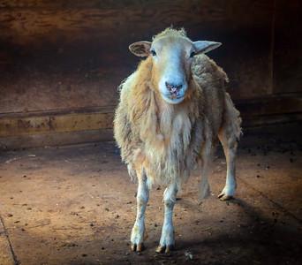sheep-IMG_4515-Edit