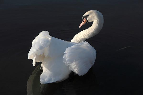 Swan Ballet