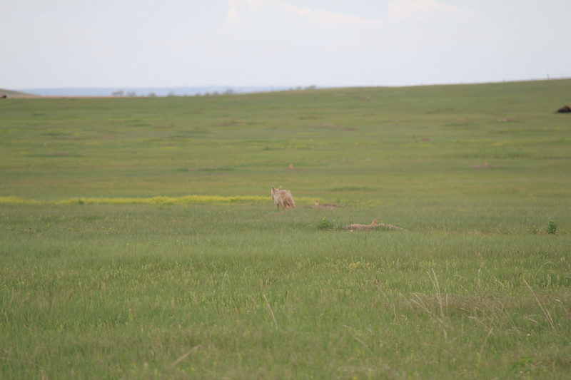 20140523-176-BadlandsNP-PrairieDogsCoyote.JPG
