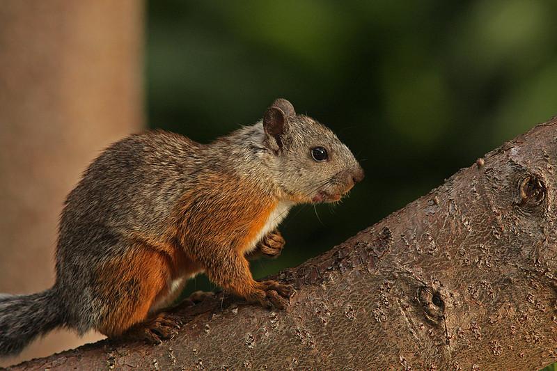 WB~CR Red Squirrel1280-Heredia , Costa Rica.jpg