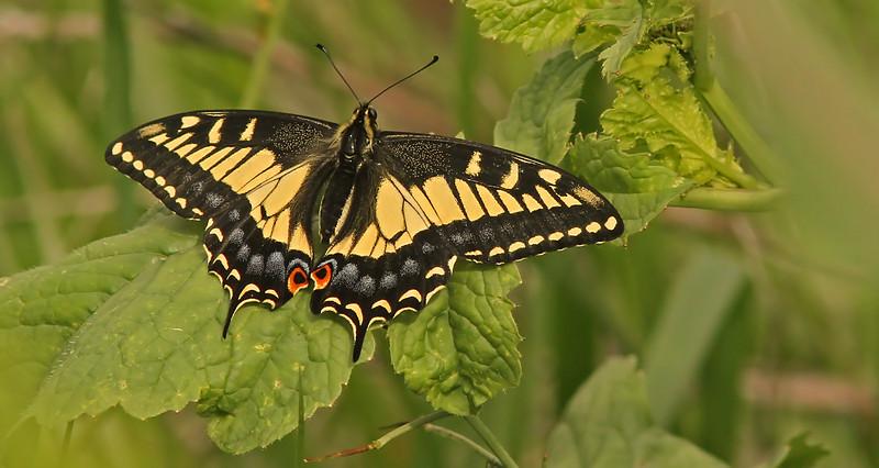 swallowtailgallinas1600.jpg