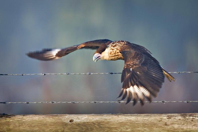 juvenile cara cara in flight Vierra 40D  _MG_3590.jpg