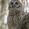 Barred Owl - Dinner Island Ranch WMA - April 2014