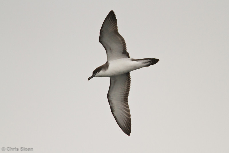 Buller's Shearwater at pelagic out of Bodega Bay, CA (10-15-2011) - 886.jpg