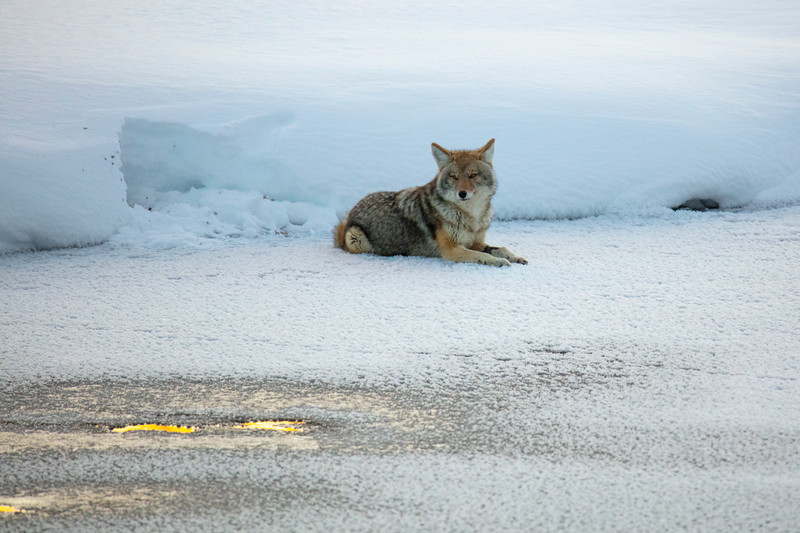 387A9795 Fishing Coyote by Madison rv.jpg