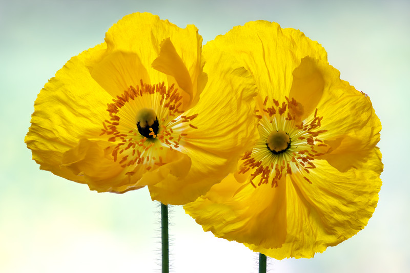 icelandic-poppies4.jpg