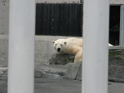Polar Bears Alaska Zoo Aug 2011