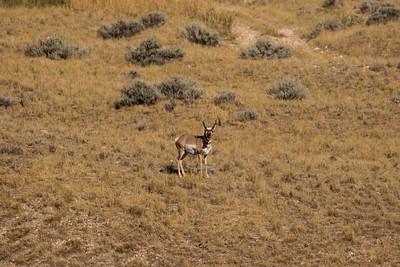 American_Antelope