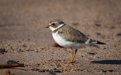 Shorebirds & Walking Waterbirds