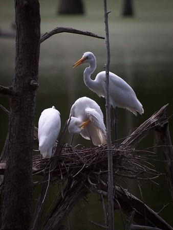 Louisiana Waterfowl